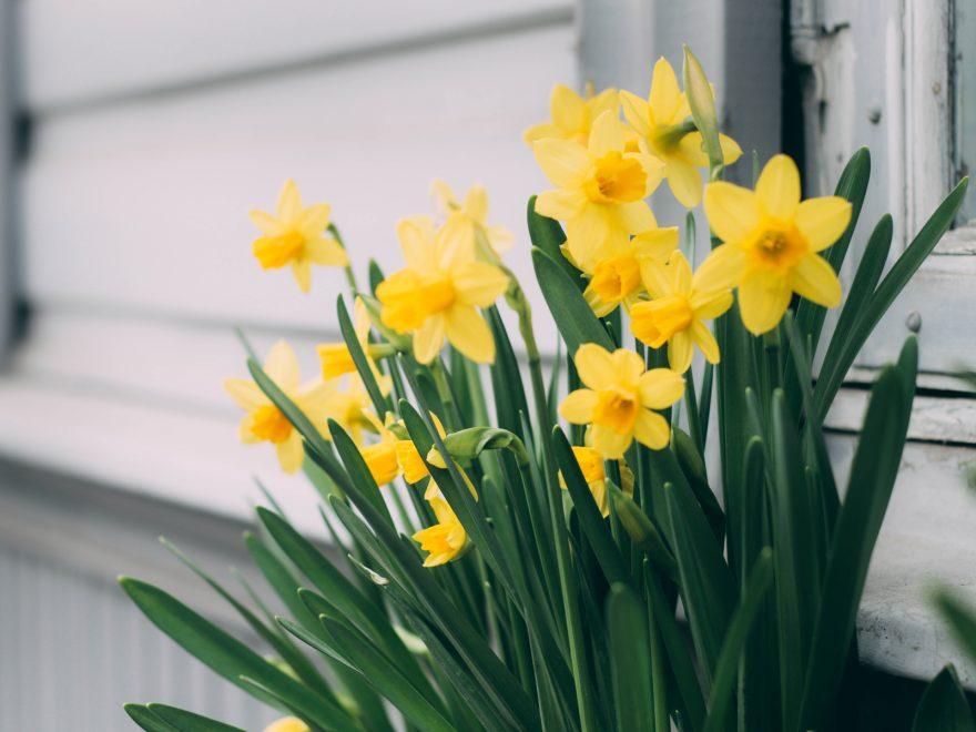 Osterglocken wachsen neben einer Hauswand.